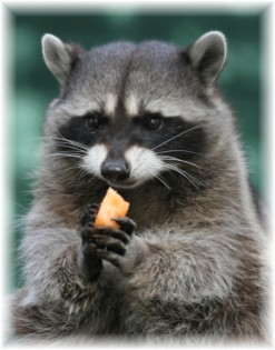 All You Need To Know Raccoons The Most Adorable Creature